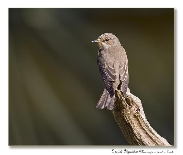 Spotted Flycatcher (Muscicapa striata) by teocali