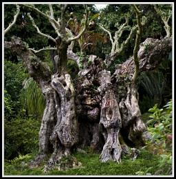 Old tree on Maderia