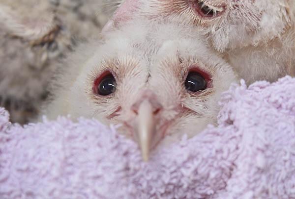 A Baby Barn Owl Peering Over the Basket edge by PhotoMorph