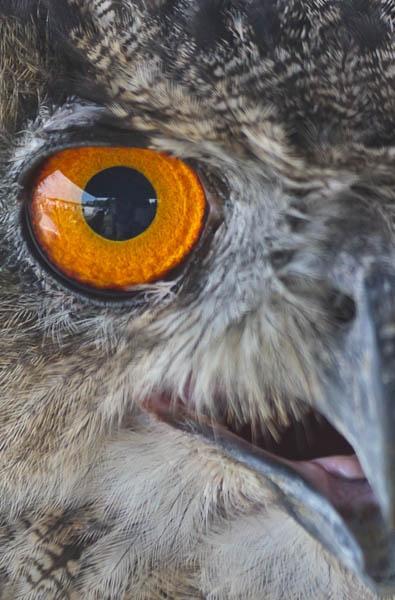 Eurasian Eagle Owl by PhotoMorph