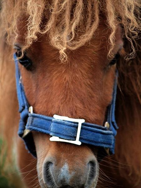 Lakeland pony by steve51158