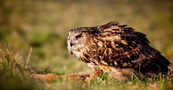Eagle Owl\'s supper by bridge99