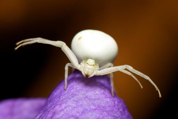 Ninja Crab Spider by bridge99