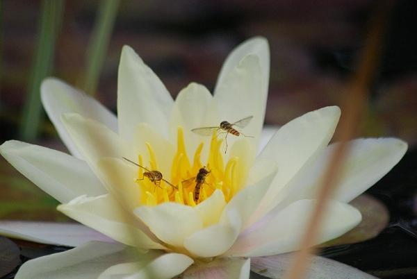 Hoverflies by brownbear