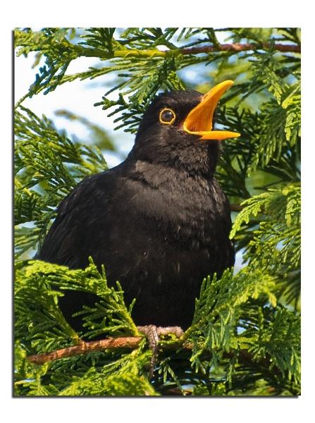 Mr Blackbird by gmorley