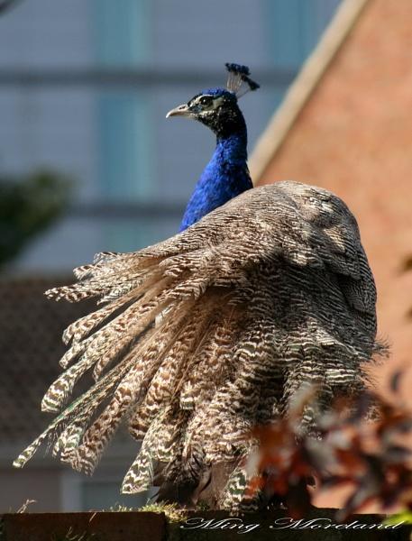 Peacock found in my garden by MingM