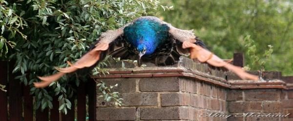 Peacock in flight by MingM