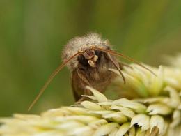 Bright-line Brown-eye moth