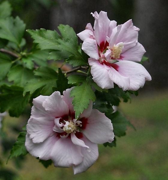 Pair of Rose of Sharon by RickFreid