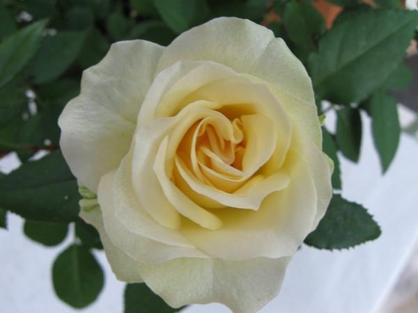 Miniature Rose by Elizabethh