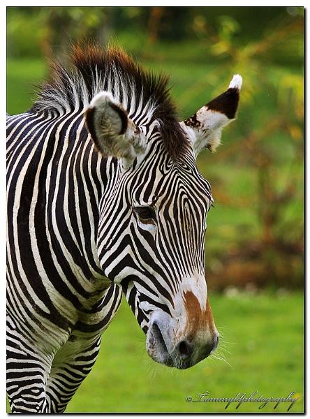 Portrait of a Zebra by tommyld