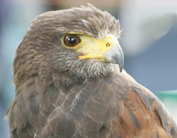 Falcon by Caroline63