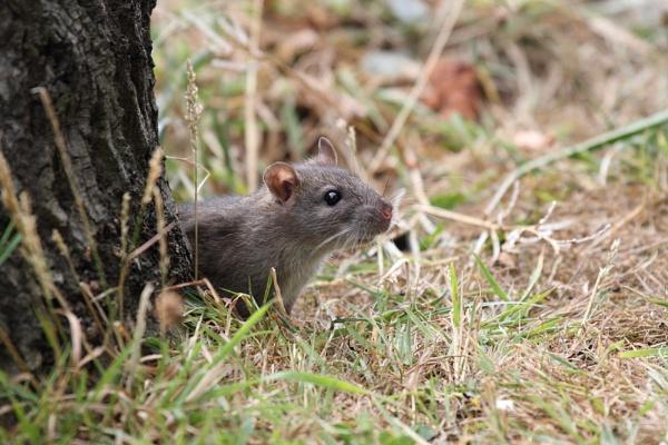 Wild Rat by Metro6R4