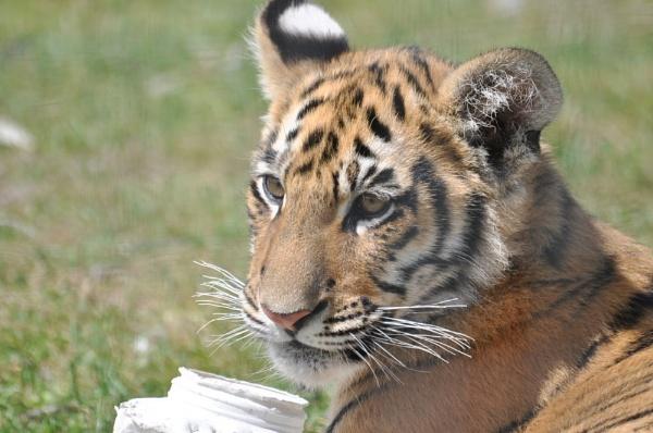 Tiger cub by Dilys