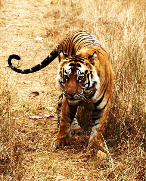 Tiger eye by JuBarney