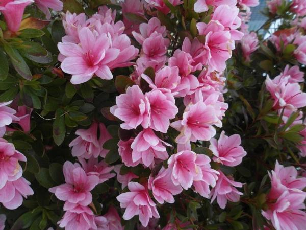 Pink Flowers by schulmanjb