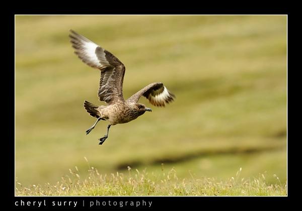 Great skua in flight by csurry