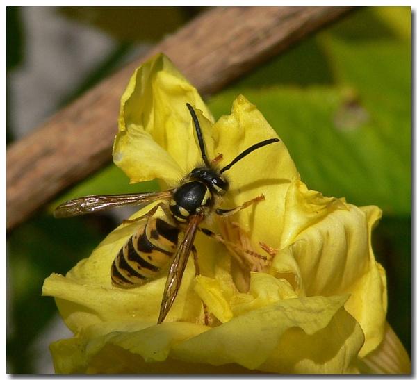 wasp by bunbeam