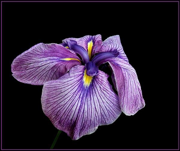 Iris by pamelajean