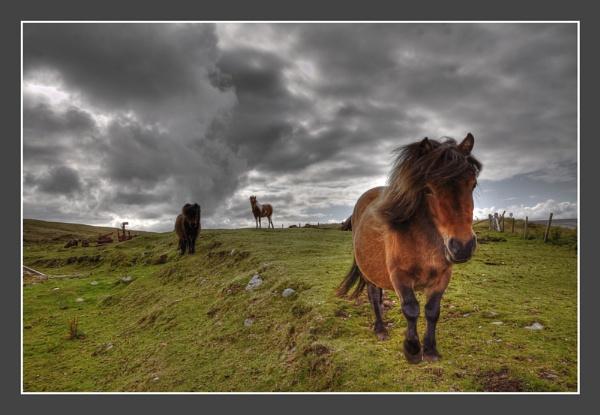 tough shetland pony\'s by ireid7