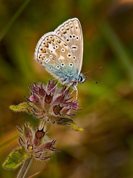 Common blue by Mike_Young