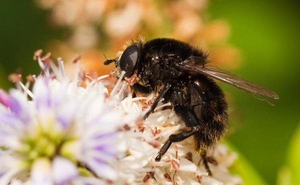black bee? any idea of identity please by michaelo