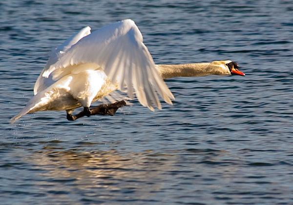 Swan take off by michaelo