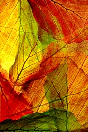 Beech leaves abstract.