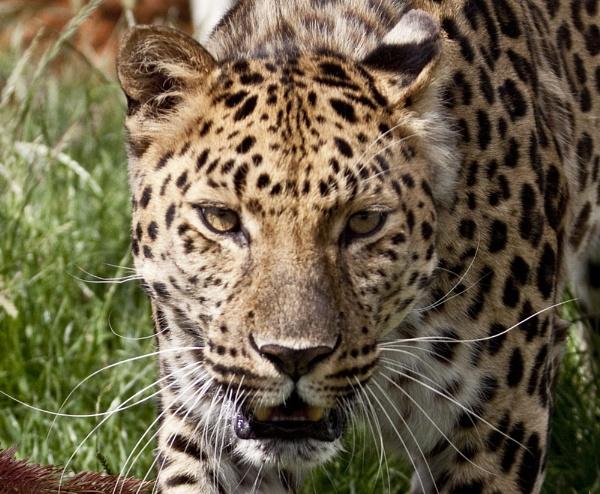 Amur Leopard by maggieh
