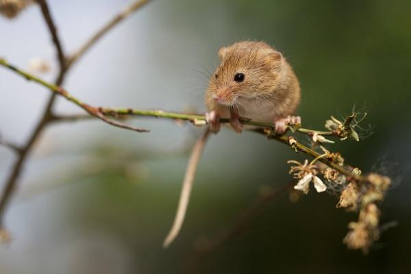 Harvest Mouse by bridge99