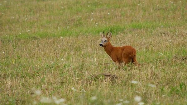 Roe Deer by zmecanin