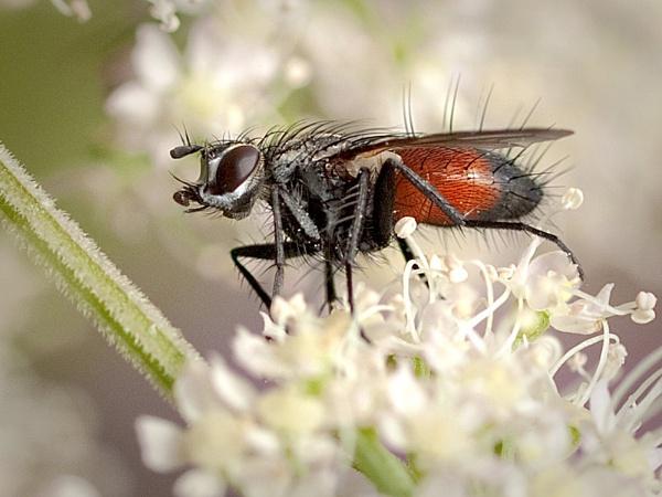 Tachnid Fly (Eriothrix rufomaculata) by Gio