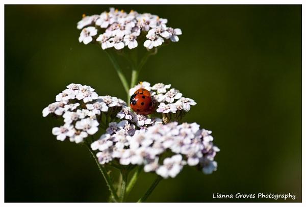 Ladybirds by lianna