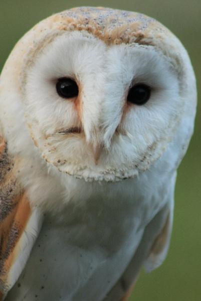 B.O.B (Barn Owl Bob) by Kdoone