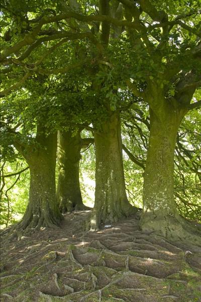 Beech Trees, Avebury by JanetKenyon