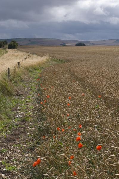 Poppies beside The Ridgeway Path, Wiltshire by JanetKenyon