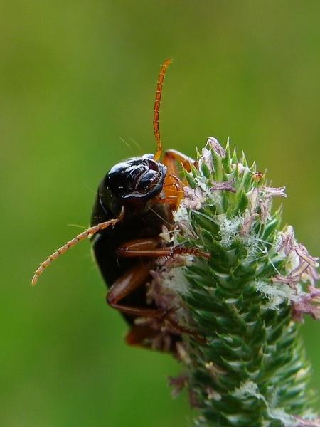 Beetle (not sure what species) by Samuel_Aron