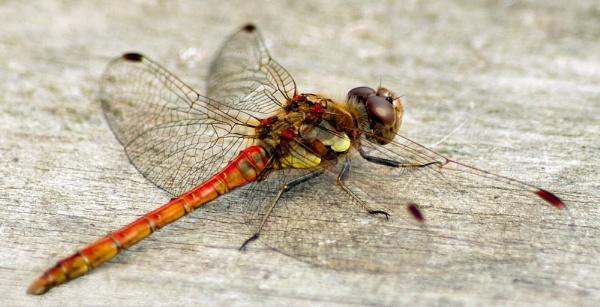 Dragonfly (2) by JackieB