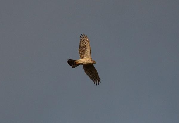 Sparrowhawk by greenie