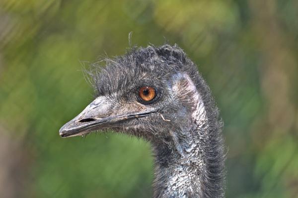 EMU..... by Dilys
