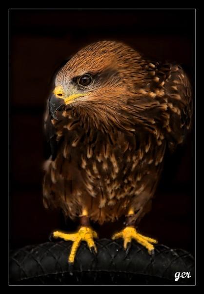 harris hawk by yaco