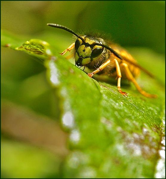 Wasp by Heffo1