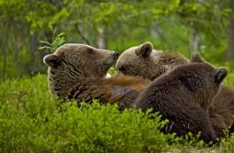 Brown bear feeding her cubs