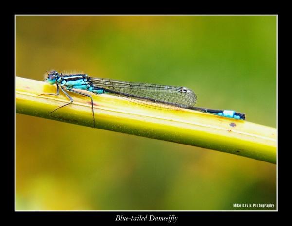Blue-tailed Damselfly by Alandyv8