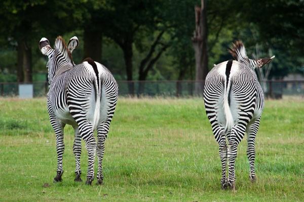 Zebras ignoring me by GavChap
