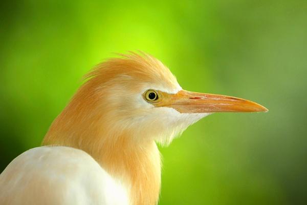 portrait of egret by perakman