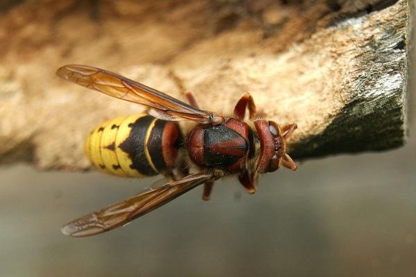 European hornet by ast333