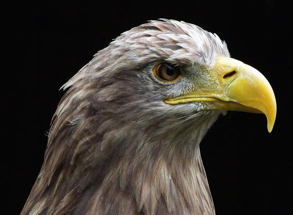Steppe Eagle by dj.lambert