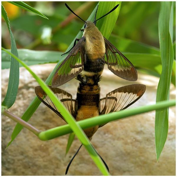 Hummingbird Moths by taggart