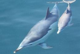 Territorial Dolphin